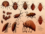 bedbug scientific illustration poster